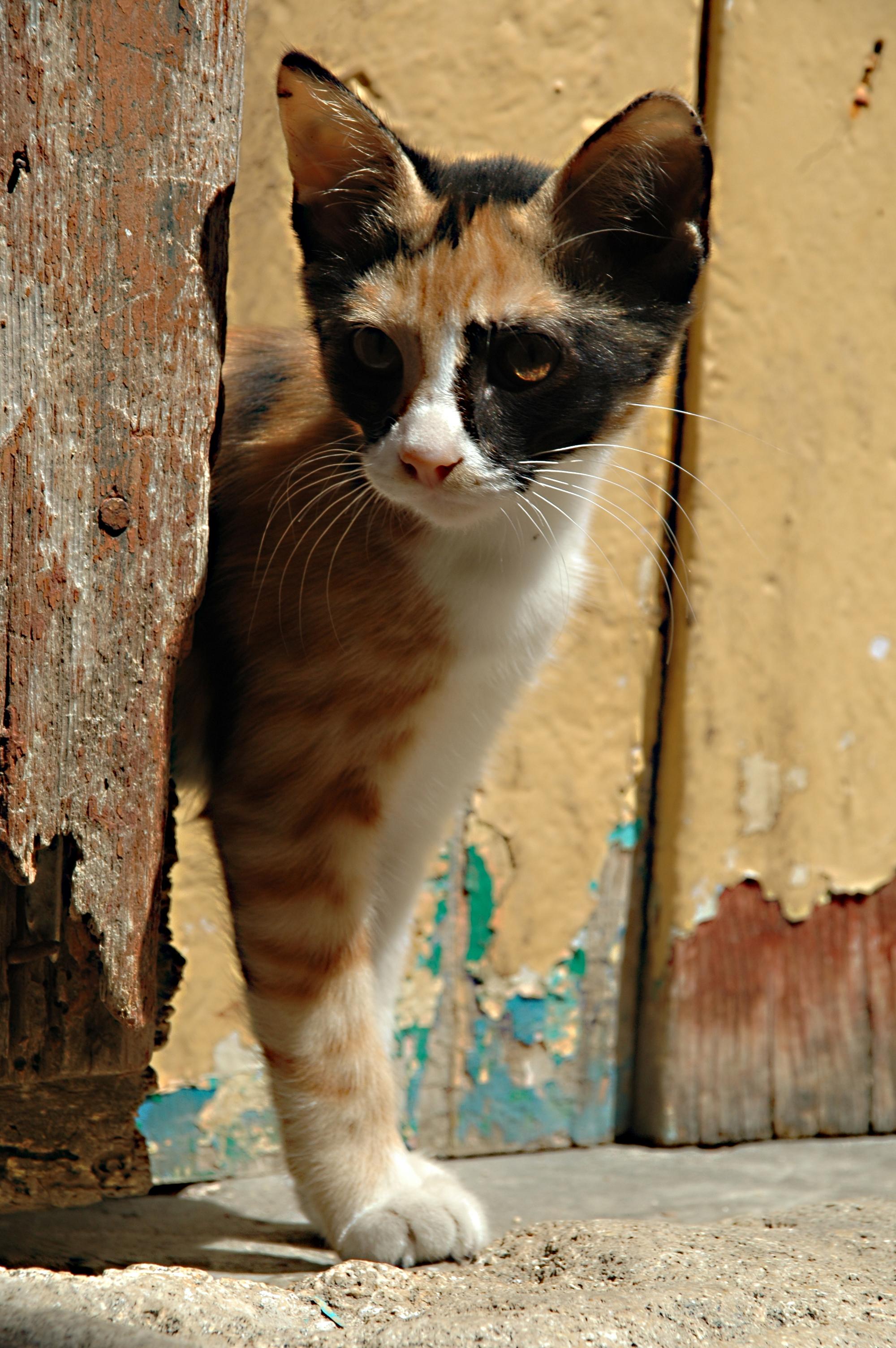plešaté mačička