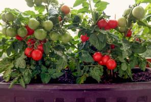 Cherry paradajky z balkóna
